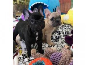 Cachorros de Bulldog Francés disponibles para adopció...