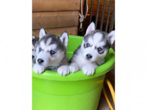 preciosos bebés maravillosos y dulces Husky para su ad...